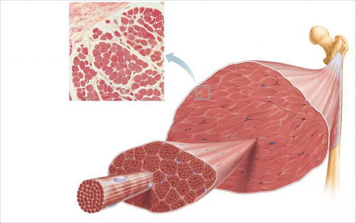 types de fibres musculaires